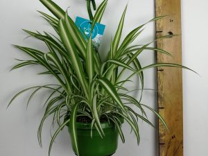 Chlorophytum com. 'V ittatum'