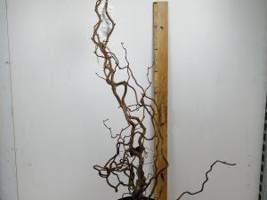 Corylus avel. 'Contorta'