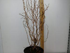 Corylus avel. 'Twister'
