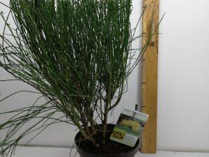 Cytisus 'Maria Burkwood'