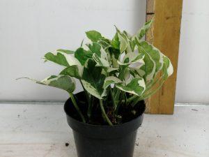 Epipremnum aureum 'NJoy'