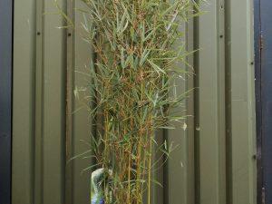 Fargesia in cultivars (V)