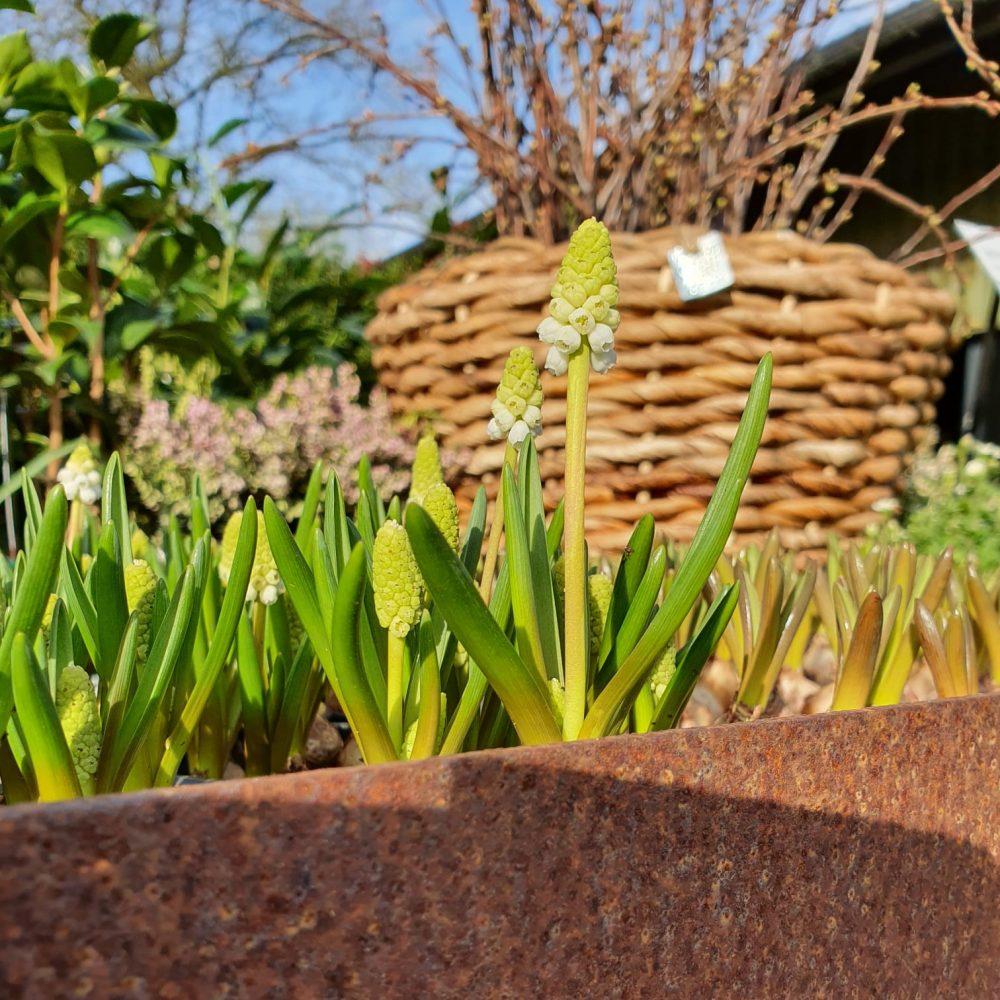 Welkom bij de Florahoek! We hebben een ruim assortiment aan vaste planten, heesters, (meerstammige) bomen en kamerplanten.