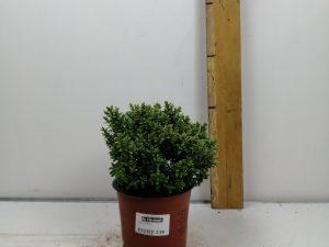 Hebe in cultivars
