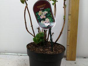 Hydrangea macr. 'Bicolor'