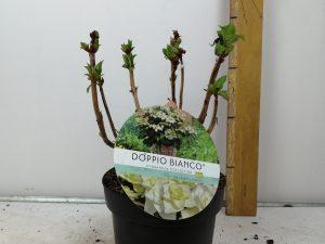 Hydrangea macr. 'DoppioBianco' (R)