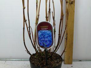 Hydrangea macr. 'Early Blue' (R)