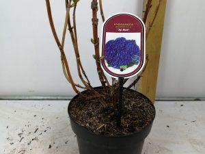 Hydrangea macr. 'Jip Blue' (R)