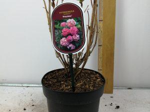 Hydrangea macr. 'Preziosa'