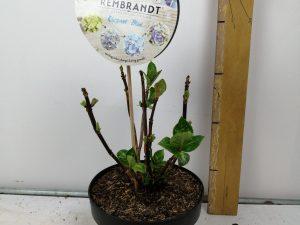 Hydrangea macr. 'Rembr.ElegantRosa' (R)