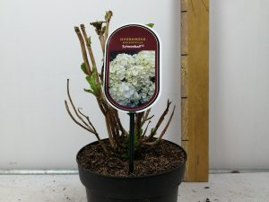 Hydrangea macr. 'Schneeball' (R)
