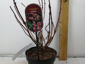 Hydrangea serrata 'Acuminata'