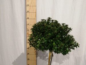 Ilex meserv. 'Little Rascal'