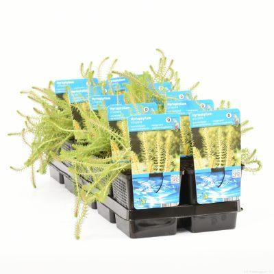 Myriophyllum crispata