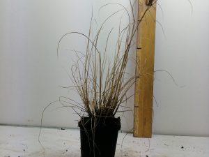 Pennisetum al. 'Hameln'