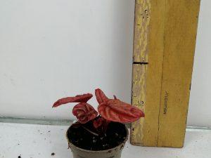 PeperomiaAbricot mini