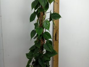 Philodendron scandensMosstok