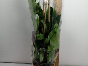 Philodendron squamif erumPiramide 19 cm