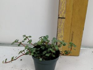 Pilea glaucophylla 'Greyzy'mini
