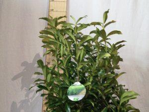 Prunus 1. Genolia