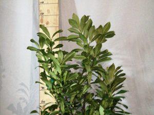 Prunus 1. 'Novita'