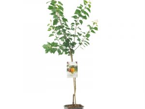Prunus armeniaca Tros Oranje laagst