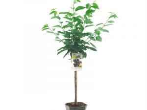 Prunus avium Burlat laagstam