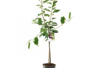 Prunus avium Regina laagstam