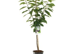 Prunus avium Sunburst laagstam