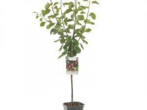 Prunus dom. Opal laagstam