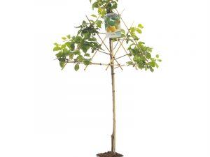 Prunus dom. R-Cl. d'Oullins leivorm