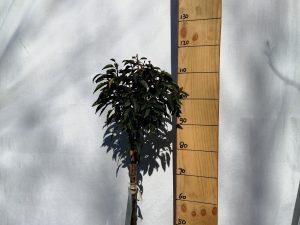 Prunus l. 'Angustifolia' F