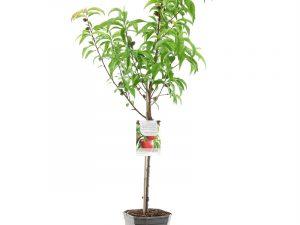 Prunus pers.nuc. Madame Blanchet