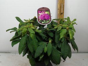 Rhododendron (T) 'Azurro'