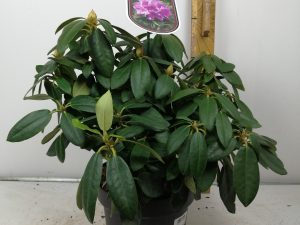 Rhododendron (T) 'Cataw.Grandifl.'