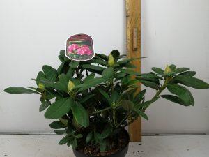 Rhododendron (T) 'Cosmopolitan'