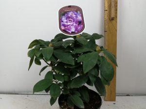 Rhododendron (T) 'FastuosumFlore Pleno'