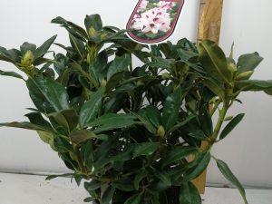 Rhododendron (T) 'Graffito' (R)
