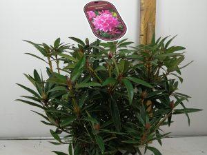 Rhododendron (T) 'Graziella'