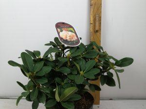 Rhododendron (T) 'HorizonMonard'