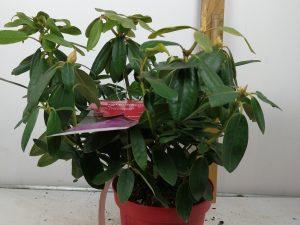 Rhododendron (T) Inkarho 'Cat.Grandiflorum'