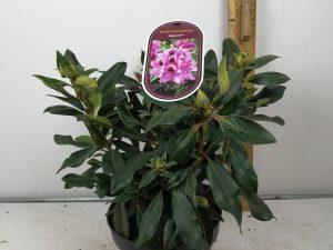 Rhododendron (T) 'Kabarett' (R)