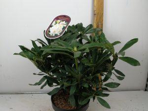 Rhododendron (T) 'MadameMasson'