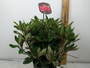 Rhododendron (T) 'Manderley'