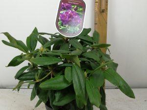 Rhododendron (T) 'MarcelMenard'