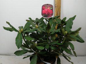 Rhododendron (T) 'Nova Zembla'