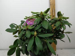 Rhododendron (T) 'Rasputin'