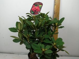 Rhododendron (T) 'Red Jack'