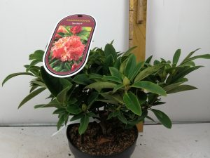 Rhododendron (T) 'Sun Fire' (R)