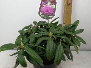 Rhododendron (Y) 'B.Lupinenberg Laguna'